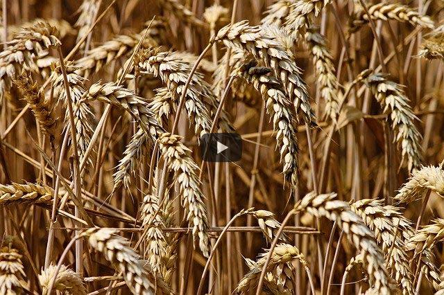 Kamut/Khorasan: gesund und schlank ohne genmanipulierten Weizen